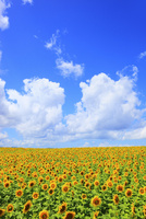ヒマワリの花と青空 11076012613| 写真素材・ストックフォト・画像・イラスト素材|アマナイメージズ