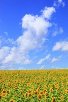 ヒマワリの花と青空 11076012615| 写真素材・ストックフォト・画像・イラスト素材|アマナイメージズ