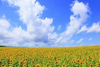 ヒマワリの花と青空 11076012616| 写真素材・ストックフォト・画像・イラスト素材|アマナイメージズ