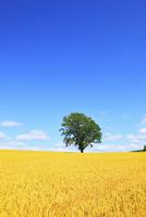 美瑛(哲学の木と麦畑)