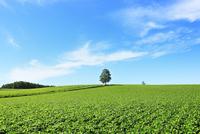丘の白樺と豆畑