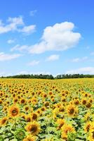 ヒマワリの花と青空 11076012683| 写真素材・ストックフォト・画像・イラスト素材|アマナイメージズ