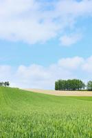 富良野(カラ松林と麦畑)