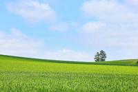 富良野(カラ松と麦畑・豆畑)