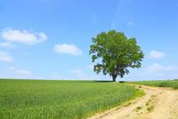 美瑛(哲学の木と小道)