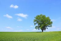美瑛(哲学の木と青空)