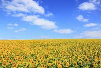 ヒマワリの花と青空 11076012746| 写真素材・ストックフォト・画像・イラスト素材|アマナイメージズ