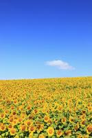 ヒマワリの花と青空 11076012747| 写真素材・ストックフォト・画像・イラスト素材|アマナイメージズ