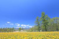 タンポポの花と八ヶ岳