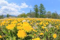 タンポポの花と新緑の樹