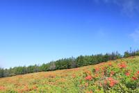美ヶ原高原 レンゲツツジと樹林
