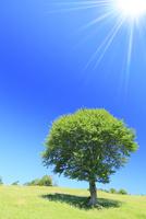 1本の緑樹に太陽光 11076013110| 写真素材・ストックフォト・画像・イラスト素材|アマナイメージズ