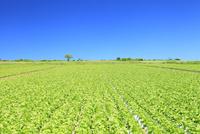 レタス畑と青空 11076013121| 写真素材・ストックフォト・画像・イラスト素材|アマナイメージズ
