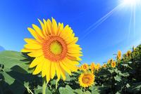 ヒマワリの花と太陽光 11076013126| 写真素材・ストックフォト・画像・イラスト素材|アマナイメージズ