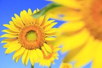 ヒマワリの花 11076013130| 写真素材・ストックフォト・画像・イラスト素材|アマナイメージズ