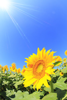 ヒマワリの花と太陽光 11076013132| 写真素材・ストックフォト・画像・イラスト素材|アマナイメージズ