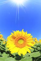 ヒマワリの花と太陽光 11076013134| 写真素材・ストックフォト・画像・イラスト素材|アマナイメージズ