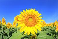 ヒマワリの花と青空 11076013135| 写真素材・ストックフォト・画像・イラスト素材|アマナイメージズ