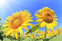 ヒマワリの花と太陽光 11076013137| 写真素材・ストックフォト・画像・イラスト素材|アマナイメージズ