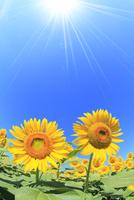 ヒマワリの花と太陽光
