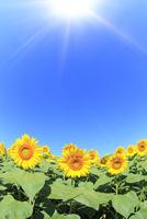 ヒマワリの花と太陽光 11076013143| 写真素材・ストックフォト・画像・イラスト素材|アマナイメージズ