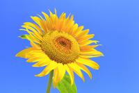 ヒマワリの花と青空 11076013145| 写真素材・ストックフォト・画像・イラスト素材|アマナイメージズ
