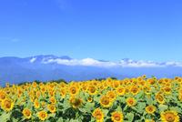 明野のヒマワリ畑と南アルプス(甲斐駒ケ岳) 11076013151| 写真素材・ストックフォト・画像・イラスト素材|アマナイメージズ