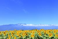明野のヒマワリ畑と南アルプス(甲斐駒ケ岳) 11076013154| 写真素材・ストックフォト・画像・イラスト素材|アマナイメージズ