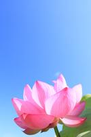 ハスの花と青空