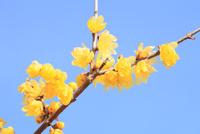 ロウバイの花