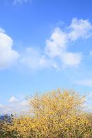 ロウバイ咲く明日香より望む二上山