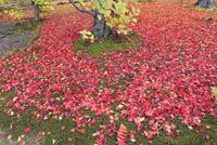 モミジの紅葉落葉