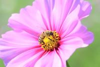 コスモスの花と蜜蜂