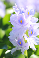 ホテイアオイの花 11076013441  写真素材・ストックフォト・画像・イラスト素材 アマナイメージズ