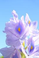 ホテイアオイの花 11076013442  写真素材・ストックフォト・画像・イラスト素材 アマナイメージズ