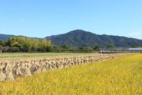 山の辺の道 三輪山と稲穂の秋