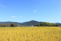 山の辺の道 三輪山と稲穂の秋 11076013458  写真素材・ストックフォト・画像・イラスト素材 アマナイメージズ