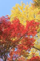 モミジとイチョウの紅葉 11076013473  写真素材・ストックフォト・画像・イラスト素材 アマナイメージズ