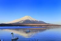 山中湖の白鳥と富士山(逆さ富士)