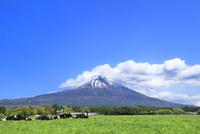 新緑の朝霧高原より放牧と富士山