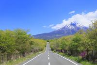 新緑の朝霧高原より道と富士山 11076013573| 写真素材・ストックフォト・画像・イラスト素材|アマナイメージズ