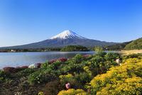 新緑の河口湖・大石公園よりユーフォルビアと富士山