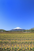花の都公園よりチューリップと富士山