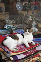 イスタンブール名物の野良猫
