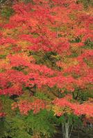 モミジの紅葉