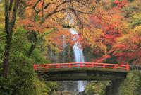 紅葉の箕面大滝 11076014276  写真素材・ストックフォト・画像・イラスト素材 アマナイメージズ