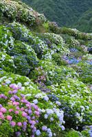 新宮のアジサイ園 11076014501| 写真素材・ストックフォト・画像・イラスト素材|アマナイメージズ