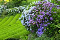 新宮のアジサイ園と茶畑 11076014502| 写真素材・ストックフォト・画像・イラスト素材|アマナイメージズ