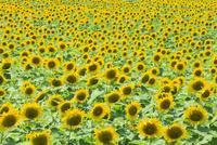 ヒマワリの花畑 11076014503| 写真素材・ストックフォト・画像・イラスト素材|アマナイメージズ