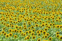 ヒマワリの花畑 11076014504| 写真素材・ストックフォト・画像・イラスト素材|アマナイメージズ